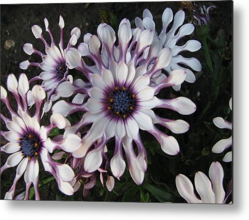 Floral Metal Print featuring the photograph Spinning Pinwheels by Kathy Roncarati