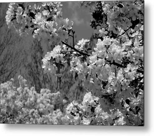 Trees Metal Print featuring the photograph Spring Trees - B And W by Arlane Crump