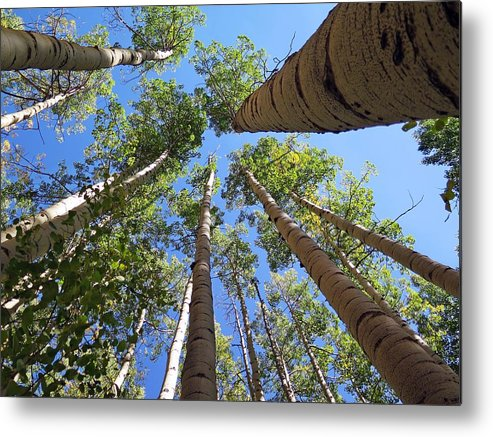 Aspen Metal Print featuring the photograph Standing Tall by Joseph Holub