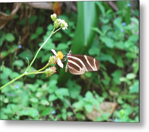 Nature Metal Print featuring the photograph Stripped Butterfly by Gloria Byler