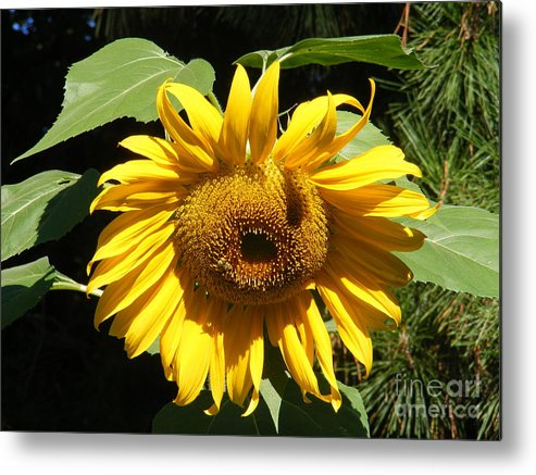 Landscape Metal Print featuring the photograph Strolling Through The Sunflowers by Gail Salitui
