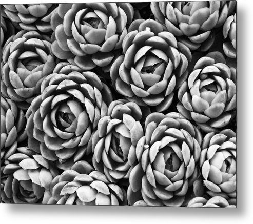Succulents Metal Print featuring the photograph Succulents In Black And White by Marion McCristall