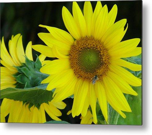 Sun Flower Metal Print featuring the photograph Sun Flower And Honey Bee by Nick Gustafson