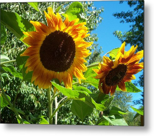 Sun Metal Print featuring the photograph Sunflower 102 by Ken Day