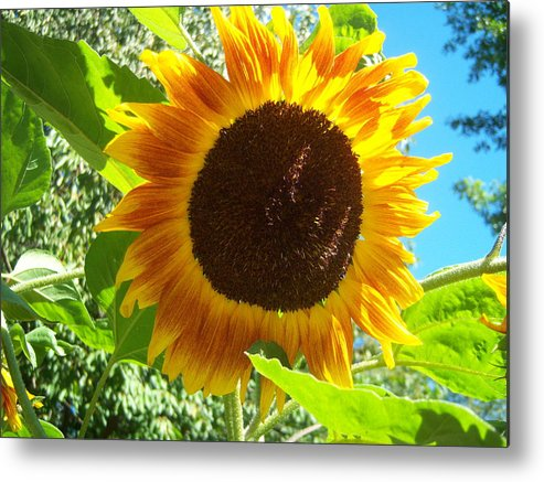 Sun Metal Print featuring the photograph Sunflower 103 by Ken Day