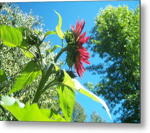 Sun Metal Print featuring the photograph Sunflower 105 by Ken Day