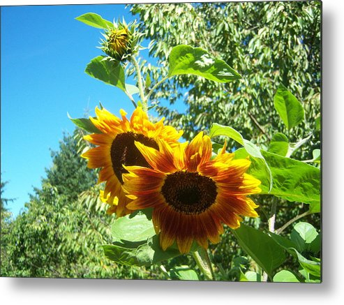 Sun Metal Print featuring the photograph Sunflower 106 by Ken Day