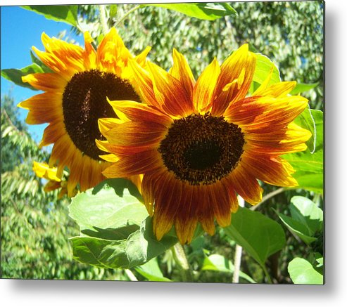 Sun Metal Print featuring the photograph Sunflower 115 by Ken Day
