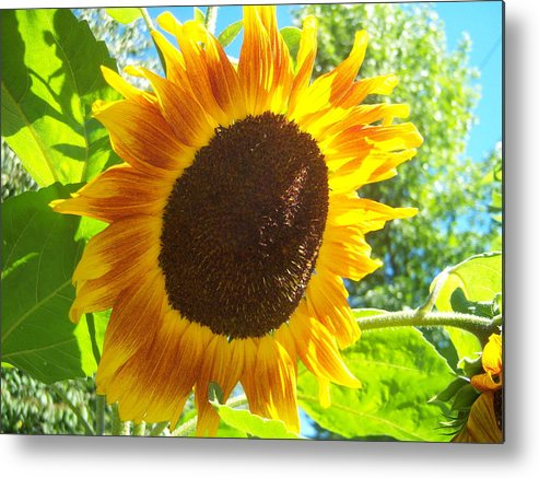 Sun Metal Print featuring the photograph Sunflower 118 by Ken Day