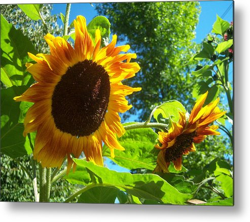 Sun Metal Print featuring the photograph Sunflower 123 by Ken Day