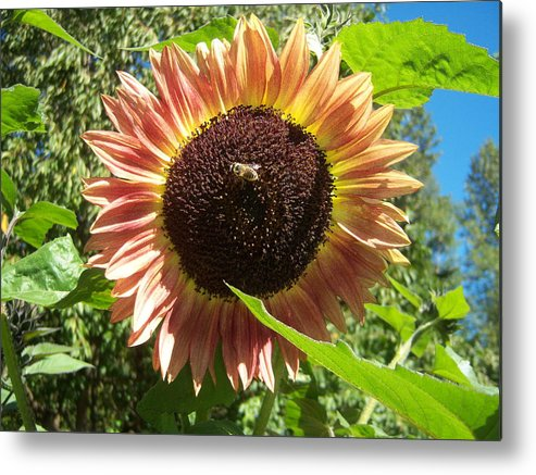 Sun Metal Print featuring the photograph Sunflower 128 by Ken Day