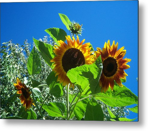 Sun Metal Print featuring the photograph Sunflower 131 by Ken Day