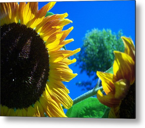 Sun Metal Print featuring the photograph Sunflower 138 by Ken Day