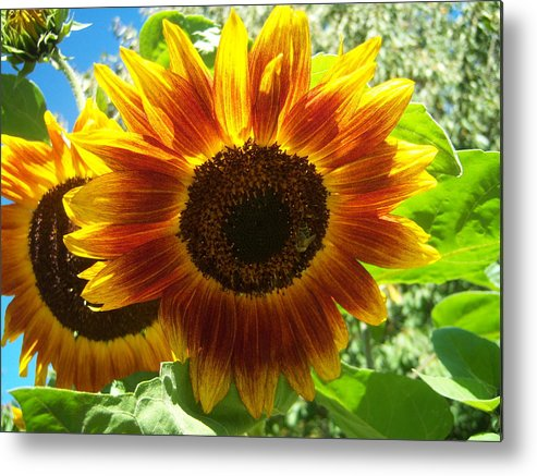 Sun Metal Print featuring the photograph Sunflower 140 by Ken Day
