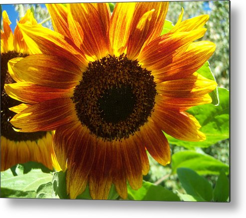 Sun Metal Print featuring the photograph Sunflower 141 by Ken Day