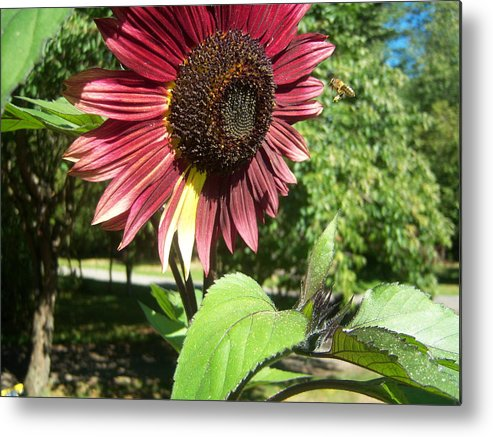 Sun Metal Print featuring the photograph Sunflower 143 by Ken Day
