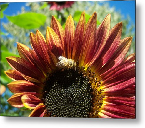 Sun Metal Print featuring the photograph Sunflower 146 by Ken Day