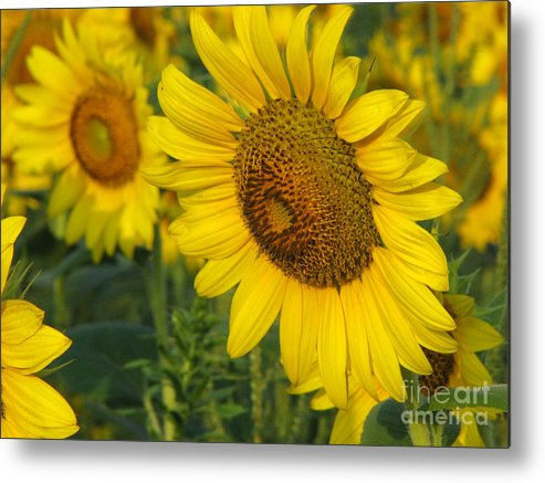 Sunflowers Metal Print featuring the photograph Sunflower Series by Amanda Barcon