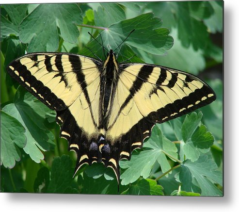 Swallowtail Metal Print featuring the photograph Swallowtail Butterfly by Liz Vernand