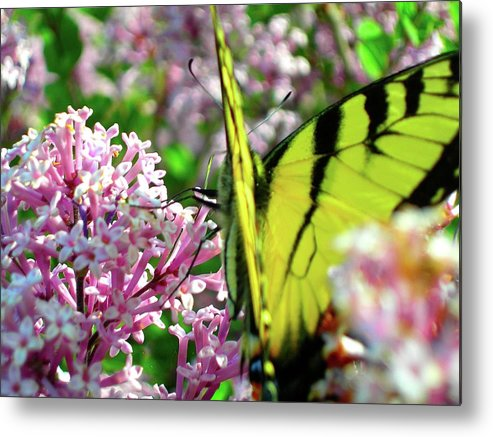 Butterflies Metal Print featuring the photograph Swallowtail On Korean Lilac Florals by Randy Rosenberger