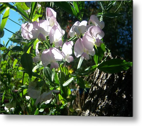Flower Metal Print featuring the photograph Sweet Peas 101 by Ken Day