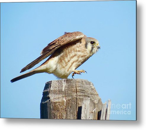 Kestrel Metal Print featuring the photograph Taking Flight by Aimee Mouw