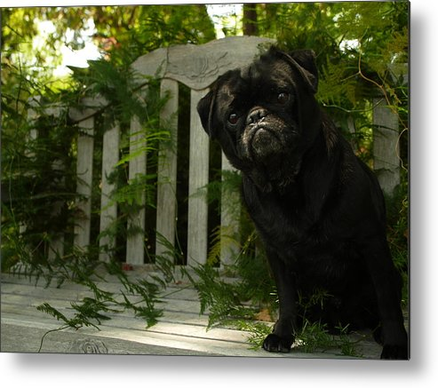 Furtograph Metal Print featuring the photograph The Black Pug Marley by Kareem Farooq