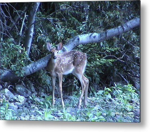 The Metal Print featuring the photograph The Fawn by Daniel Henning