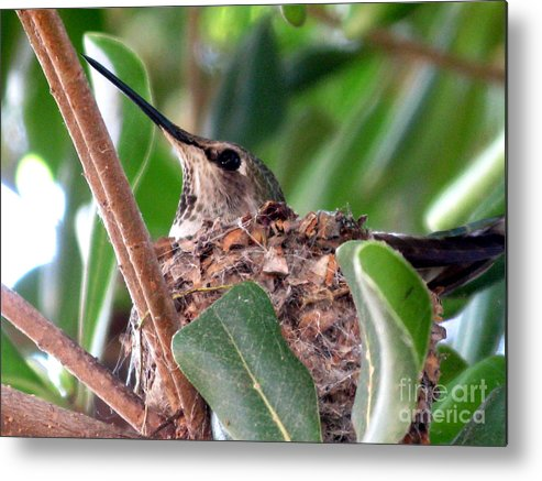 Humming Bird Metal Print featuring the photograph The Gift Of Spring by PJ Cloud