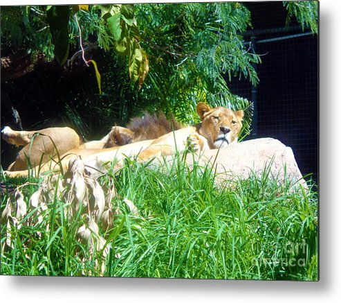 Lion Metal Print featuring the photograph The Lion Awakes by Tracey Everington