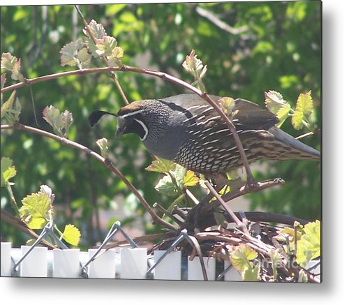 Quail Metal Print featuring the photograph The Mr. by Karli Martin
