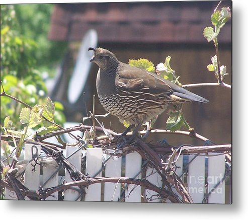 Quail Metal Print featuring the photograph The Mrs. by Karli Martin
