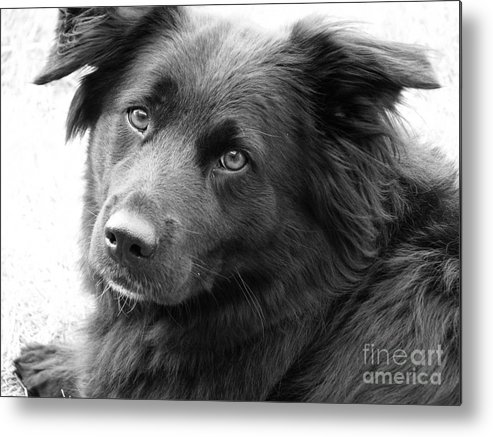 Dog Metal Print featuring the photograph Thinking by Amanda Barcon