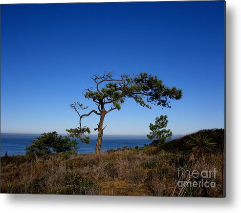 Torrey Pines Metal Print featuring the photograph Torrey Pines Tree by PJ Cloud