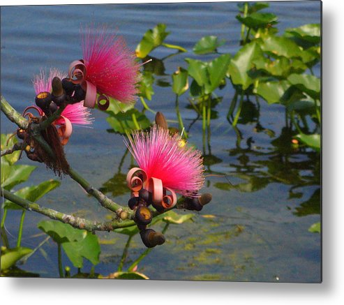 Pink Metal Print featuring the photograph Tree Blossoms by Peggy King