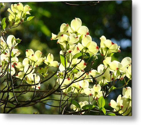 Dogwood Metal Print featuring the photograph Trees Landscape Art Sunlit White Dogwood Flowers Baslee Troutman by Baslee Troutman