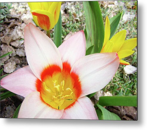 �tulips Artwork� Metal Print featuring the photograph Tulips Artwork 9 Spring Floral Pink Tulip Flowers Art Prints by Baslee Troutman