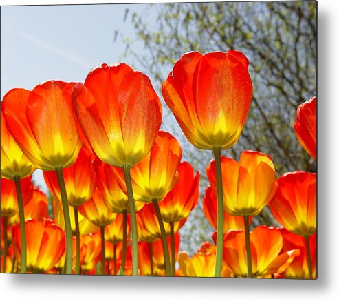 Keukenhof Metal Print featuring the photograph Tulips by Brent Smith