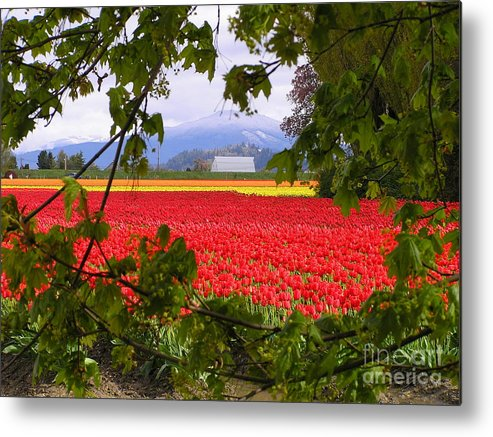 Tulip Metal Print featuring the photograph Tulips Secret Window by Louise Magno