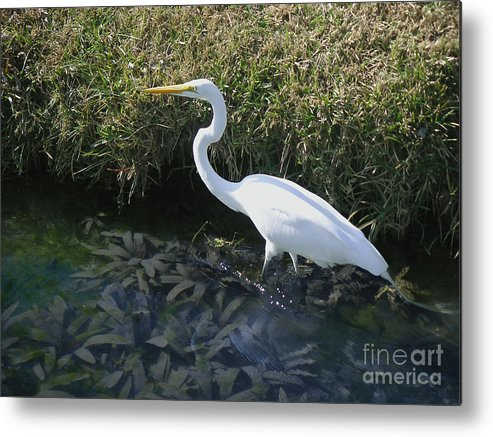 Nature Metal Print featuring the photograph Wading For Dinner by Lucyna A M Green
