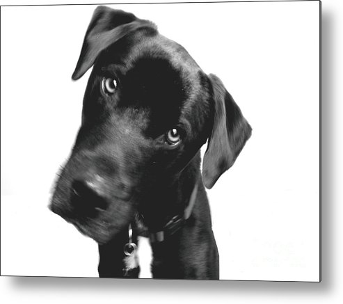 Labrador Metal Print featuring the photograph What by Amanda Barcon