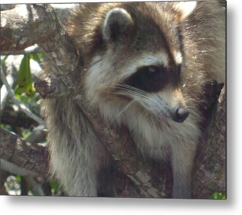 Racoon Metal Print featuring the photograph What's Happening by Vicki Berchtold