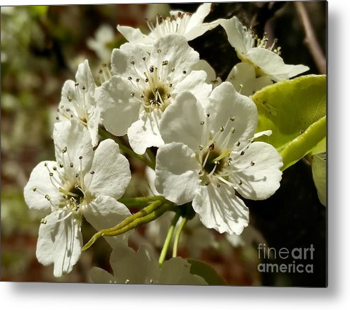 Blossoms Metal Print featuring the photograph White Blossom by Mioara Andritoiu
