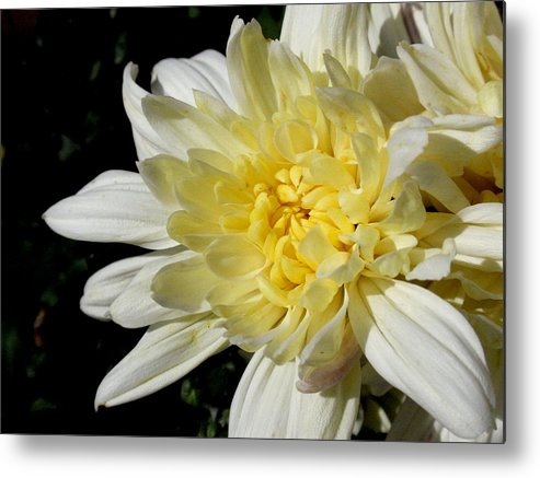 Flower Metal Print featuring the photograph White Blossom Of Radiance by Edan Chapman