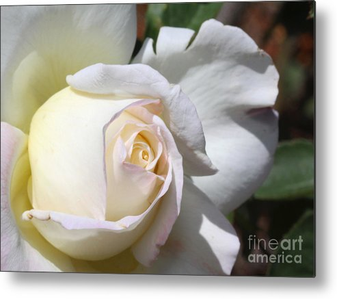 Rose Metal Print featuring the photograph White Blush Rose by Edythe Heilner
