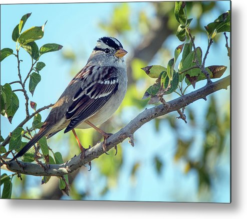 White-crowned Sparrow Metal Print featuring the photograph White-crowned Sparrow 0033-111017-1cr by Tam Ryan