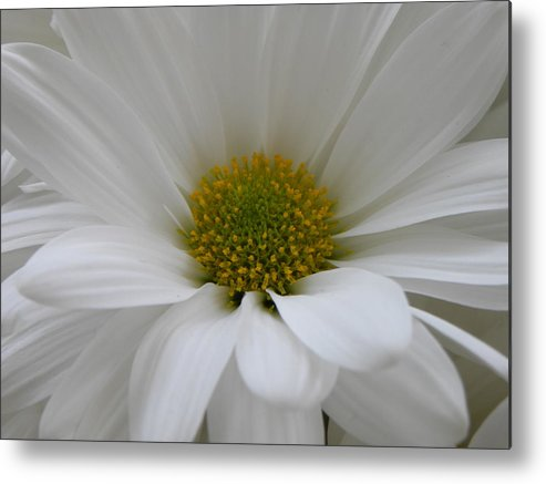 Nature Metal Print featuring the photograph White Daisy by Shannon Turek
