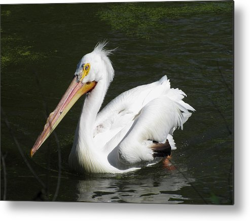 Pelican Metal Print featuring the photograph White Pelican by George Jones