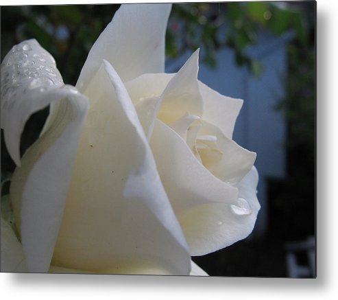 Floral Metal Print featuring the photograph White Rose With Dew Drops by Kathy Roncarati
