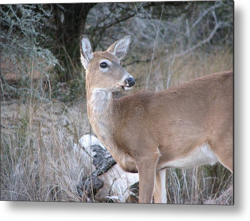 Deer Metal Print featuring the photograph Whitetail Deer by Stacey May